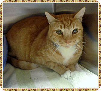 Domestic Shorthair Cat for adoption in Marietta, Georgia - BISHOP (R)