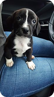 Jack Russell Terrier Mix Puppy for adoption in Concord, California - Snowflake