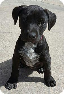 Labrador Retriever/Husky Mix Puppy for adoption in Southbury, Connecticut - Greta