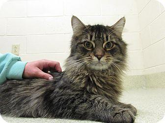 Domestic Mediumhair Cat for adoption in Windsor, Virginia - Rocko