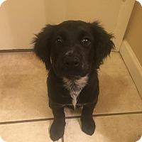Adopt A Pet :: Petunia - Goodyear, AZ