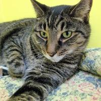 Domestic Shorthair/Domestic Shorthair Mix Cat for adoption in Fairfax, Virginia - Jim