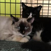 Adopt A Pet :: Chrissy - Ellicott City, MD