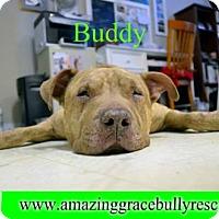 Adopt A Pet :: Buddy - Pensacola, FL