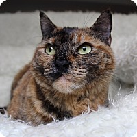 Domestic Shorthair Cat for adoption in Wayne, New Jersey - Augustina