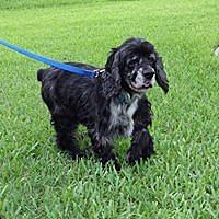 Adopt A Pet :: Jake - Cape Coral, FL