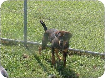 Rottweiler Mix Dog for adoption in Burnsville, North Carolina - Alice