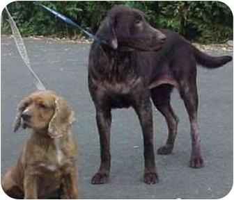 Cocker Spaniel Mix Dog for adoption in Northridge, California - Bear