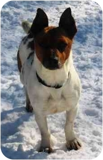 Corgi/Jack Russell Terrier Mix Dog for adoption in Osseo, Minnesota - Toby