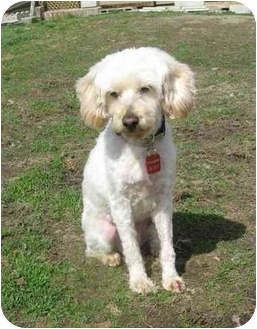 Poodle (Miniature)/Terrier (Unknown Type, Medium) Mix Dog for adoption in Ile-Perrot, Quebec - Mary