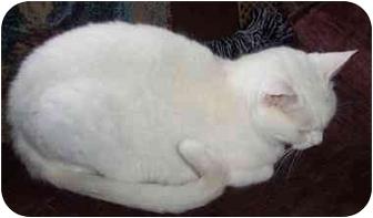 Domestic Shorthair Cat for adoption in Marshfield, Missouri - Isis