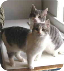Domestic Shorthair Kitten for adoption in McMinnville, Oregon - ABC Kitties