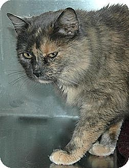 Domestic Shorthair Cat for adoption in Eastsound, Washington - Noodle