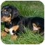 Photo 1 - Black and Tan Coonhound/Hound (Unknown Type) Mix Puppy for adoption in Westminster, Colorado - SOFIA