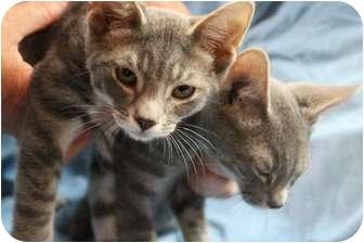 Siamese Kitten for adoption in Farmington, Michigan - Siam & Bengi: Siamese/ Bengal