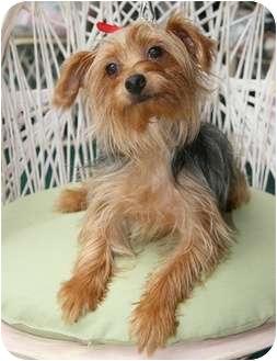 Yorkie, Yorkshire Terrier Dog for adoption in Tallahassee, Florida - Freddie
