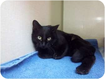 Domestic Shorthair Cat for adoption in Sterling, Colorado - Sabrina