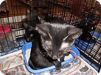 American Shorthair Cat for adoption in Santa Ana, California - Blackie