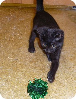 Domestic Shorthair Kitten for adoption in West Palm Beach, Florida - ZIVA