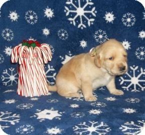 Labrador Retriever Mix Puppy for adoption in Larned, Kansas - Spiderella