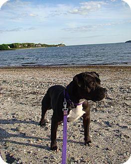 Boxer/American Pit Bull Terrier Mix Dog for adoption in Acushnet, Massachusetts - Shadow