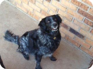 Australian Shepherd Mix Dog for adoption in Abilene, Texas - Lacee
