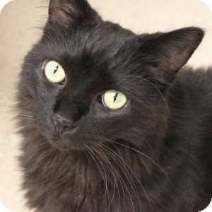 Domestic Longhair Cat for adoption in Naperville, Illinois - Oreo