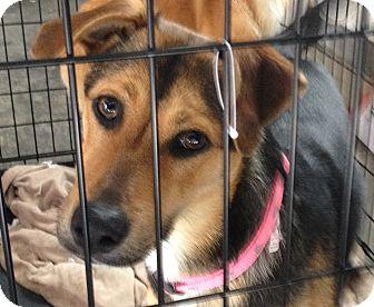 Shepherd (Unknown Type)/Terrier (Unknown Type, Medium) Mix Puppy for adoption in Allentown, Pennsylvania - Eclair