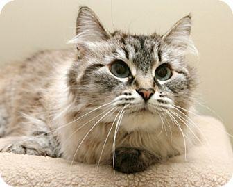 Siamese Cat for adoption in Bellingham, Washington - Mandy