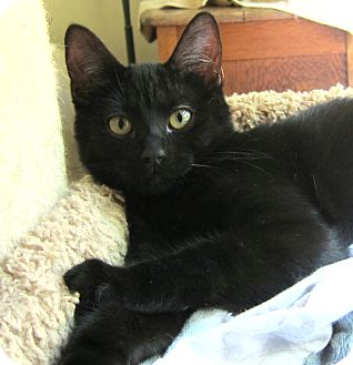 Domestic Shorthair Kitten for adoption in Roseville, Minnesota - Leela & Nica (outgoing & fun))