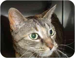 Domestic Shorthair Cat for adoption in Walker, Michigan - Salaam
