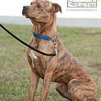 Adopt A Pet :: Tony- Tri County Pit Bull Rescue - Fredericksburg, VA