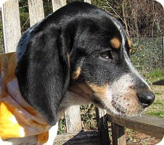 Bluetick Coonhound Puppy for adoption in Port St. Joe, Florida - Penelope