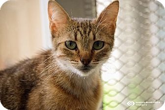 Domestic Shorthair Cat for adoption in San Diego, California - WENDY