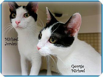 Domestic Shorthair Cat for adoption in Trevose, Pennsylvania - Michael Jordan