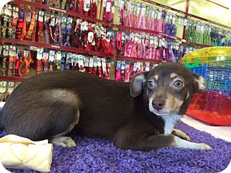 Miniature Pinscher/Chihuahua Mix Puppy for adoption in Pahrump, Nevada - Aria