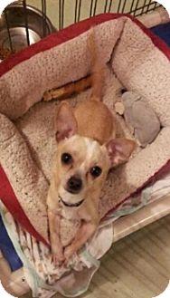 Chihuahua Mix Dog for adoption in Edmonton, Alberta - Turkey