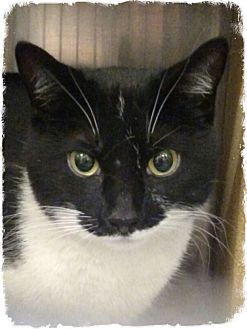 Domestic Shorthair Cat for adoption in Pueblo West, Colorado - Babasu