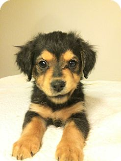 Terrier (Unknown Type, Medium)/Retriever (Unknown Type) Mix Puppy for adoption in Encino, California - Rizzo - Bryanna Pup