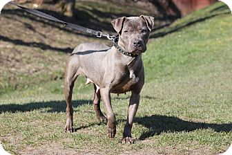 American Pit Bull Terrier Mix Dog for adoption in Midland, Michigan - Sable