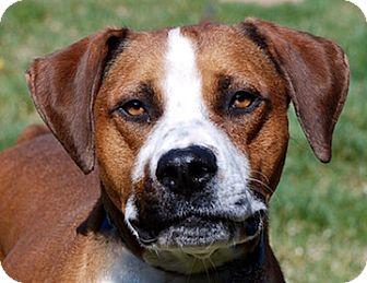 Hound (Unknown Type) Mix Dog for adoption in Portola, California - Hawk