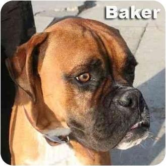 Boxer Dog for adoption in Encino, California - BAKER