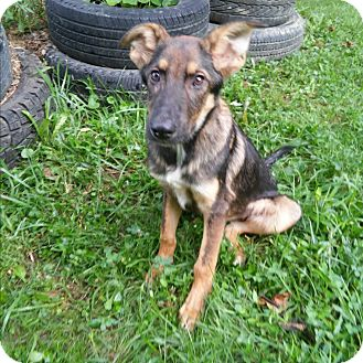 German Shepherd Dog Puppy for adoption in Louisville, Kentucky - Remy