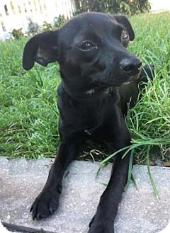 Chihuahua/Terrier (Unknown Type, Medium) Mix Puppy for adoption in Boca Raton, Florida - Jade