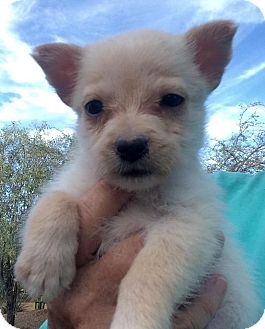 Maltese/Havanese Mix Puppy for adoption in Cave Creek, Arizona - Mercy
