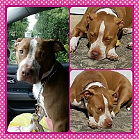 American Pit Bull Terrier Dog for adoption in Holland, Pennsylvania - Rosie