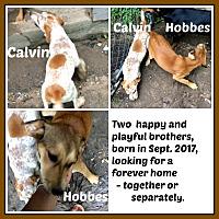 German Shepherd Dog/Black and Tan Coonhound Mix Puppy for adoption in Malvern, Arkansas - HOBBES