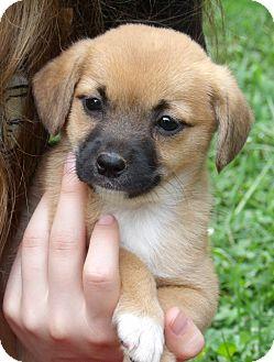 Spitz (Unknown Type, Medium)/Terrier (Unknown Type, Small) Mix Puppy for adoption in Burlington, Vermont - Gypsy (4.5 lb) Video