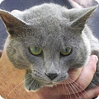 Russian Blue Cat for adoption in Germantown, Maryland - Ethan