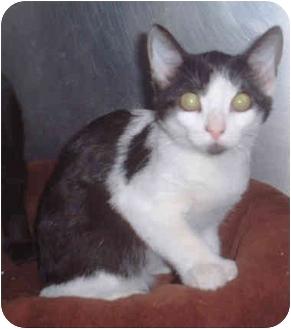 Domestic Shorthair Kitten for adoption in Honesdale, Pennsylvania - Vanna